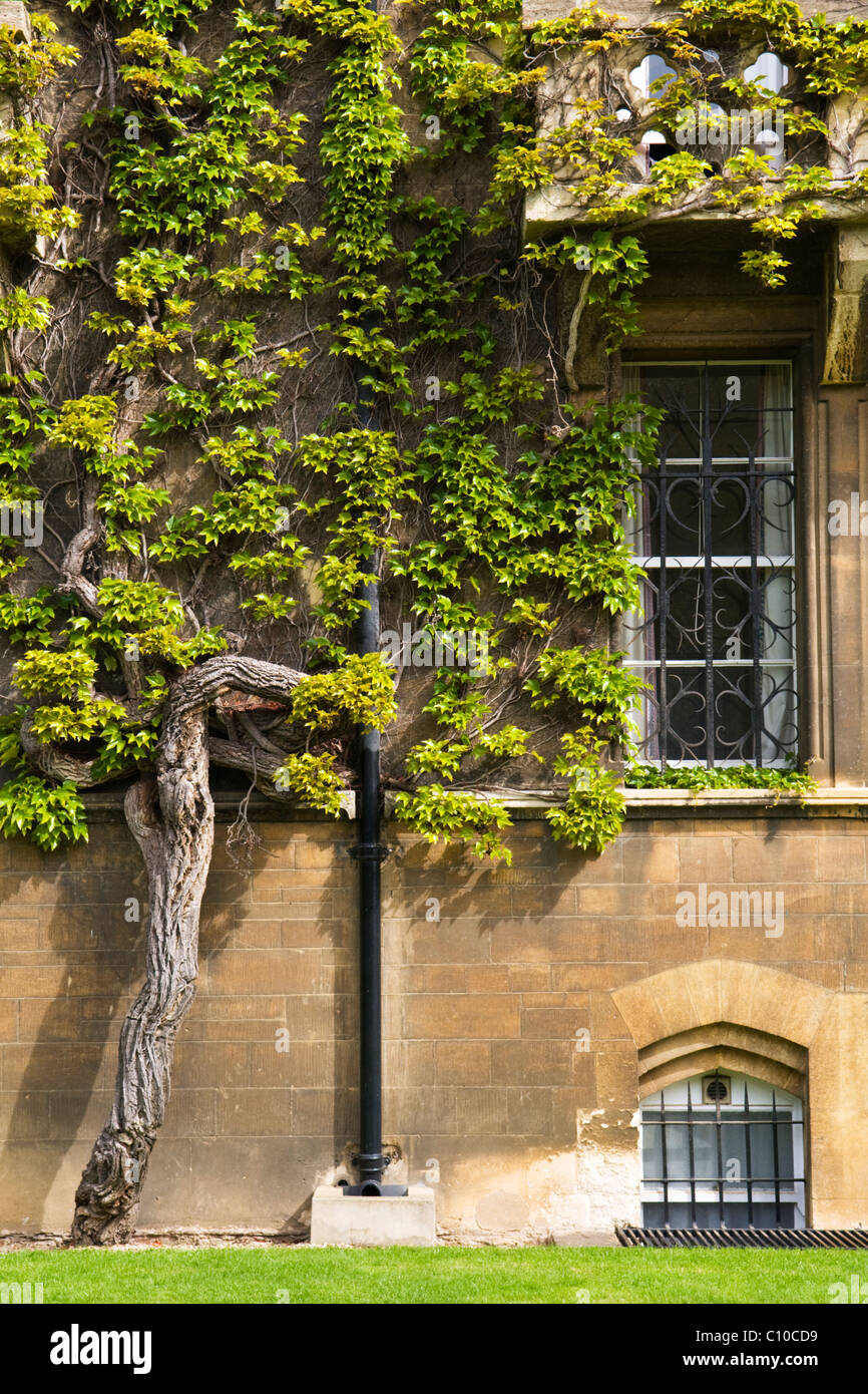 An ancient ivy growing against the wall of christ church college oxford england