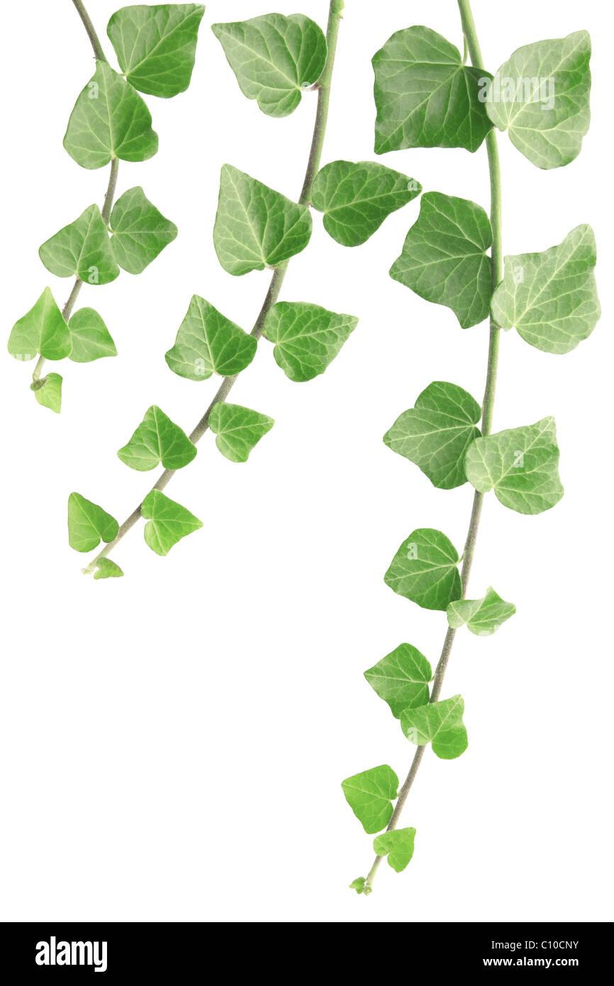 Ivy isolated on white - Stock Image