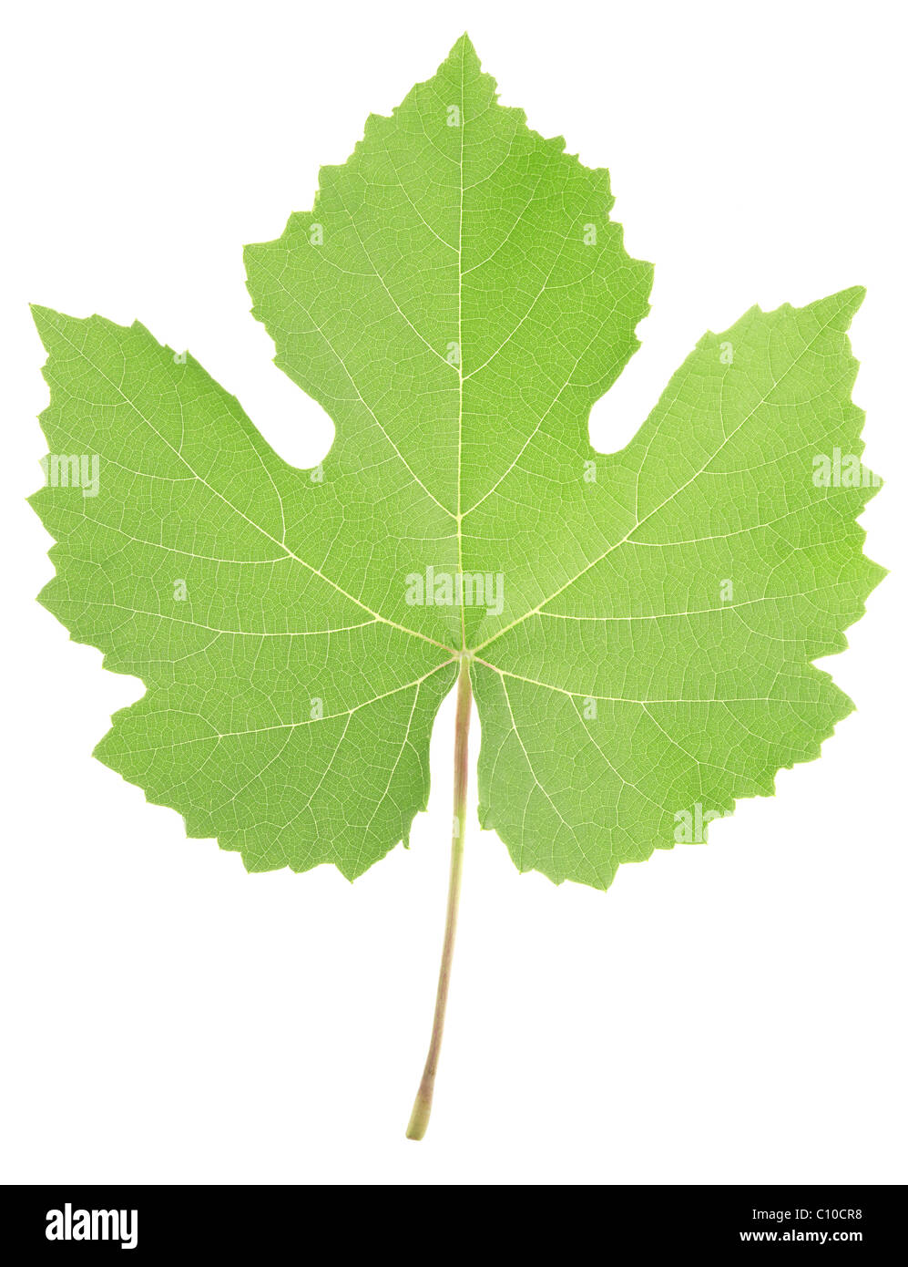 Grape leaf isolated on white background Stock Photo
