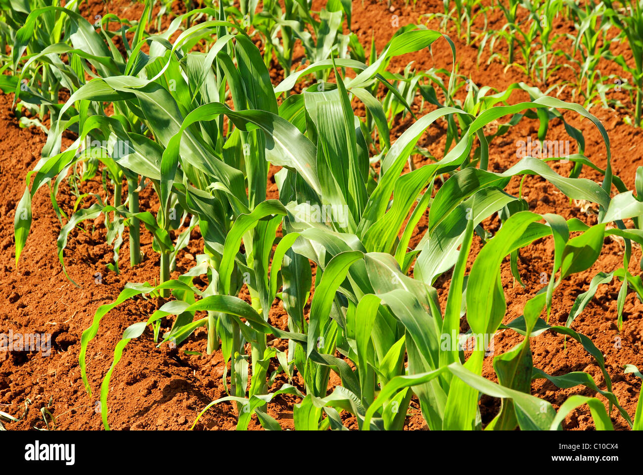Maisfeld - corn field 01 - Stock Image