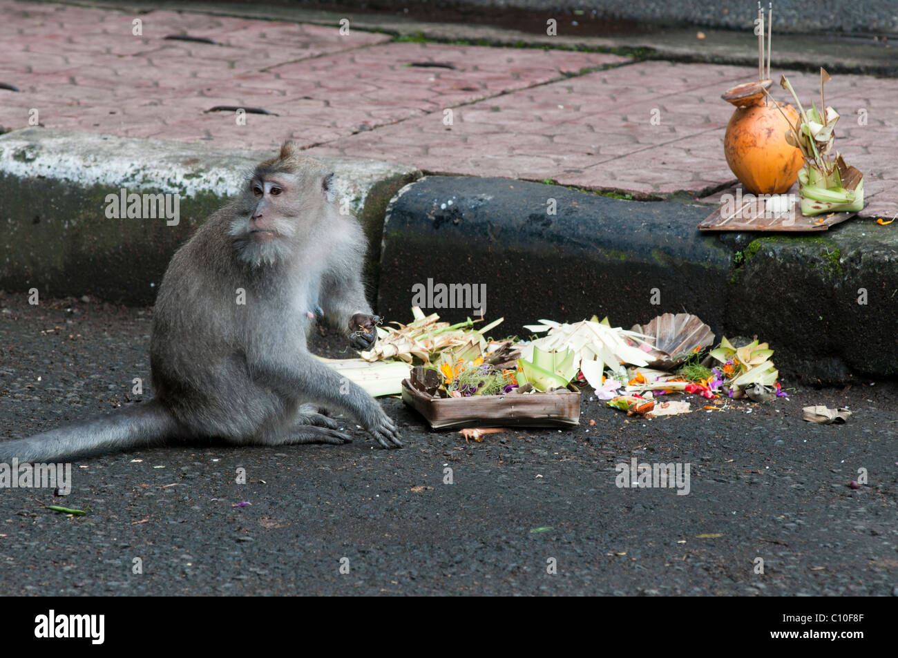 Balinese long tailed macaques scavenging food from religious offerings in the street in Ubud - Stock Image