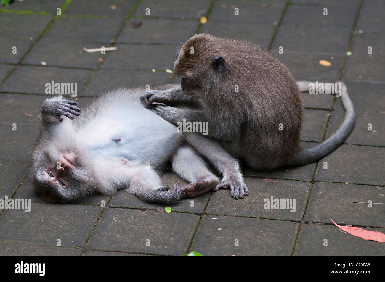 Balinese long-tailed macaques grooming in the Monkey Forest at Ubud in Bali - Stock Image
