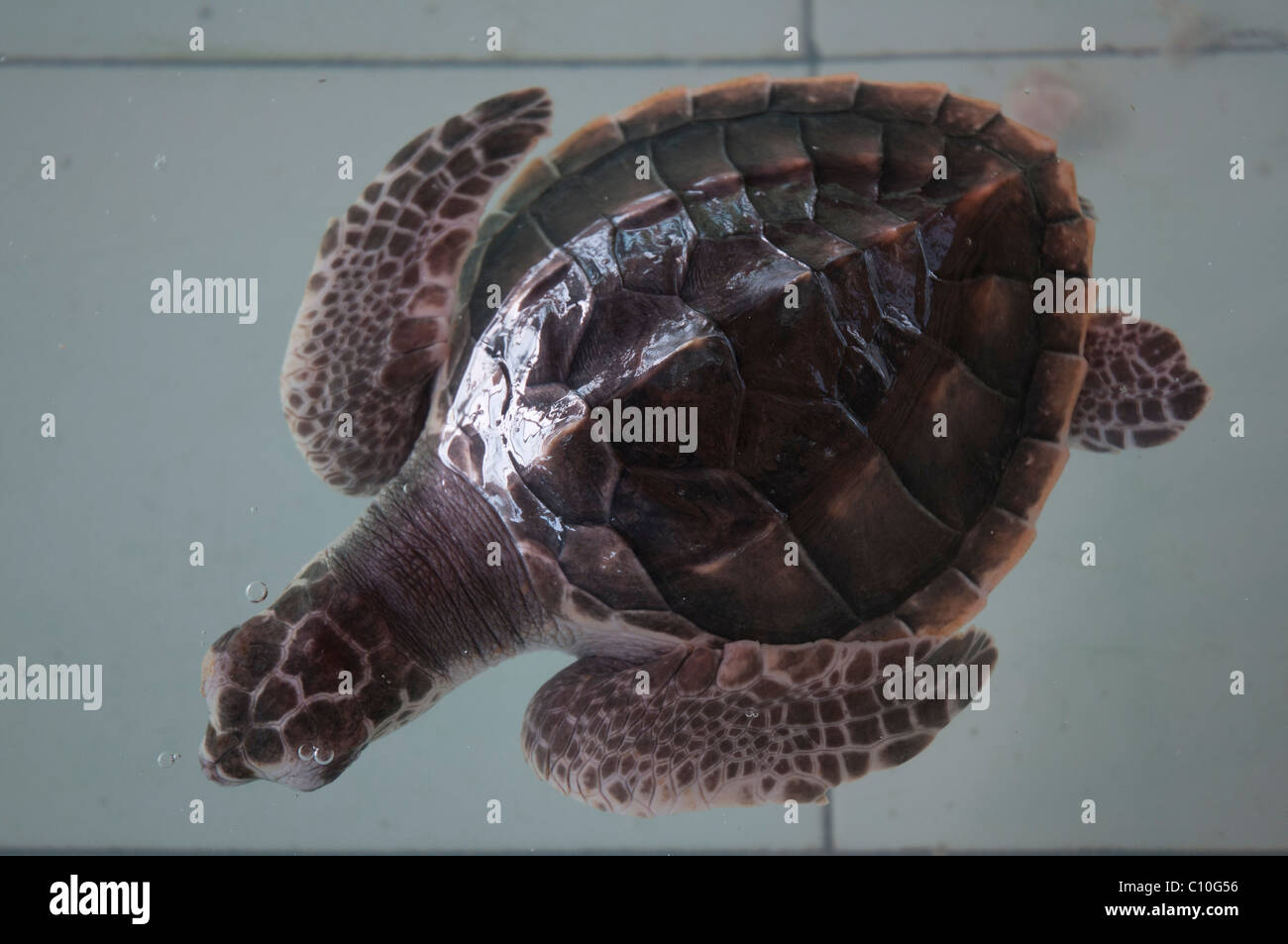 Baby loggerhead turtles in a turtle sanctuary on Gili Trawangan in Indonesia - Stock Image