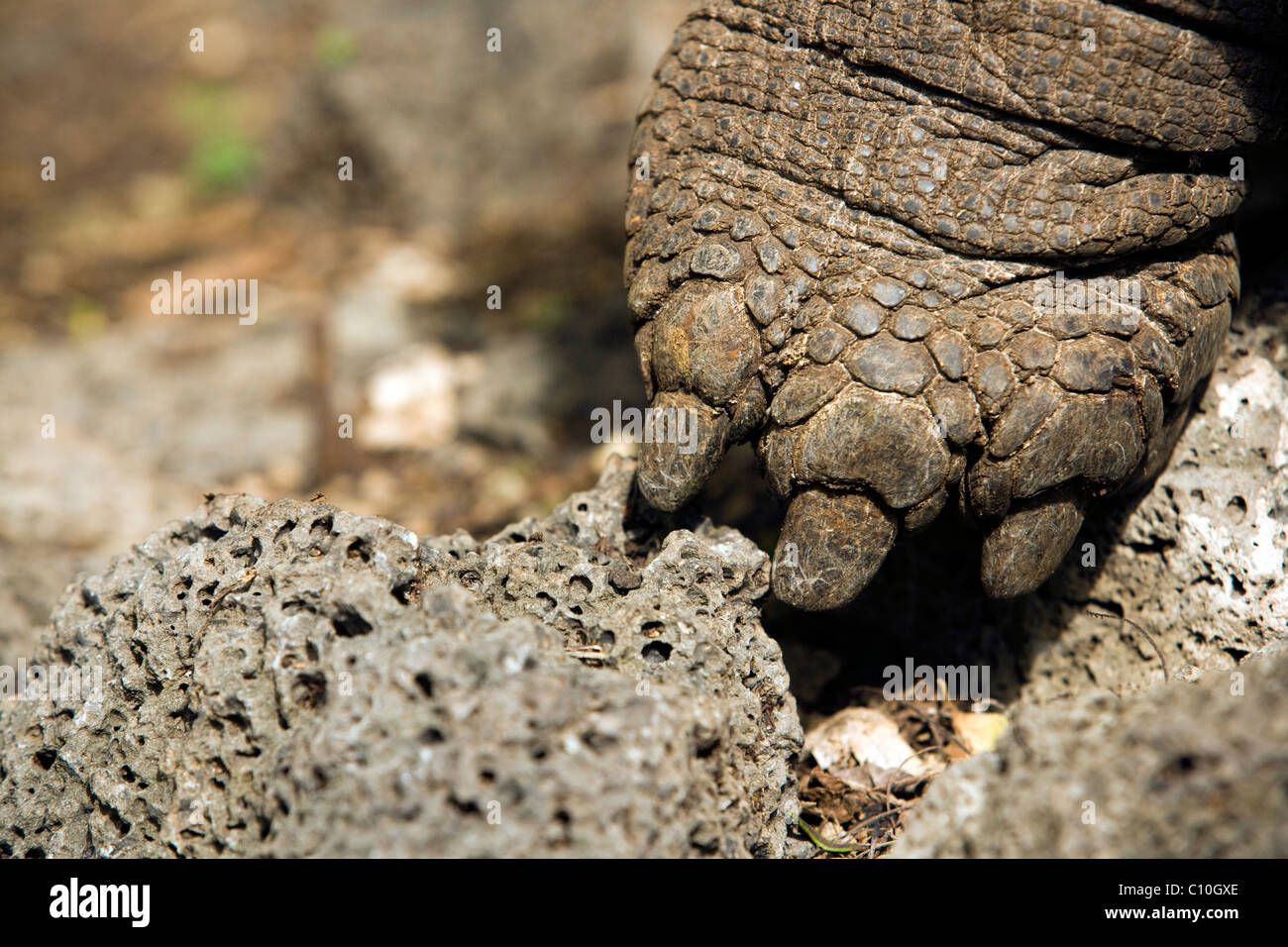 Close-up of Foot of Giant Tortoise (Captive) - Charles Darwin Research Station - Santa Cruz Island, Galapagos Islands, - Stock Image