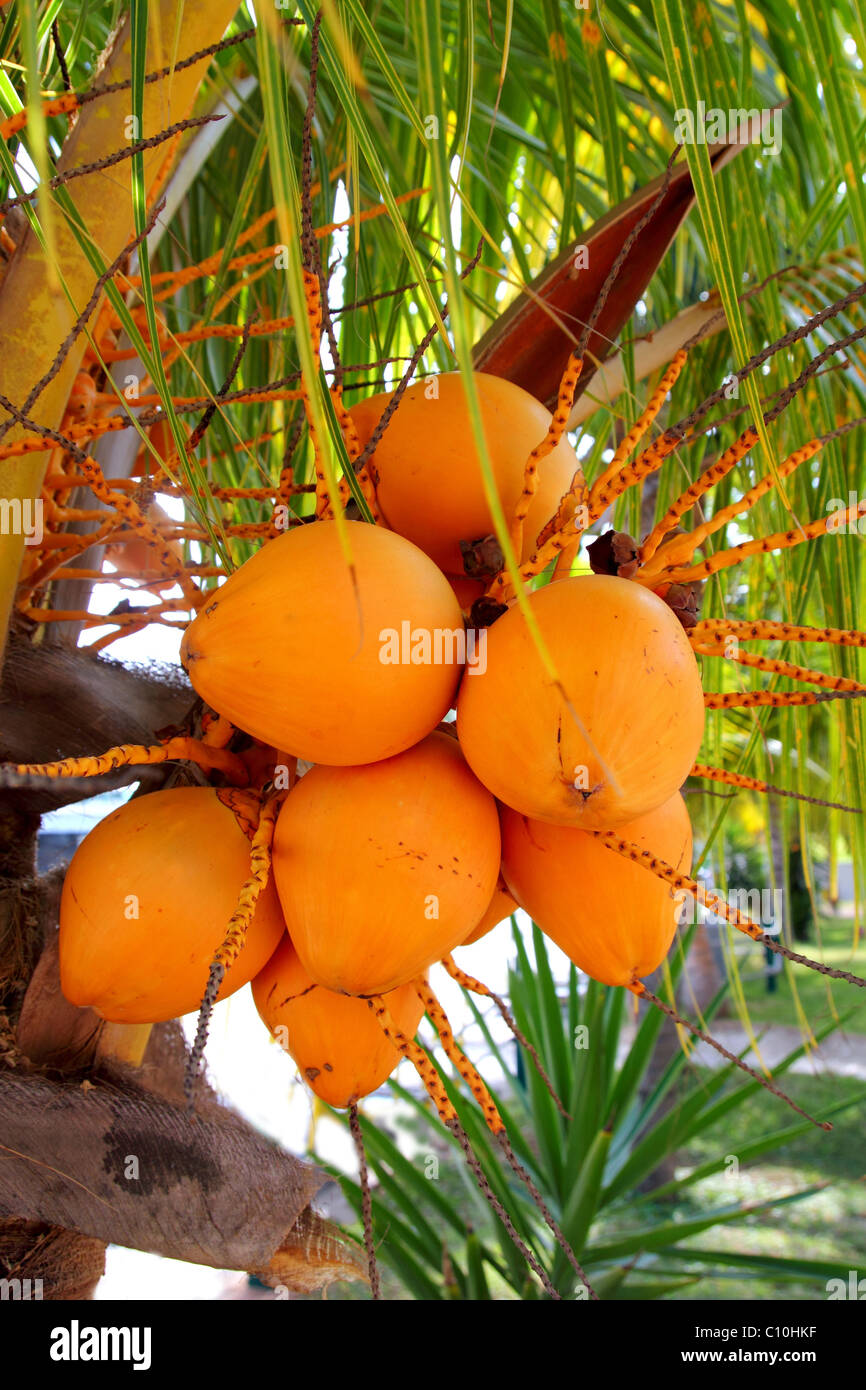 Coconuts in palm tree ripe yellow orange color fruit - Stock Image