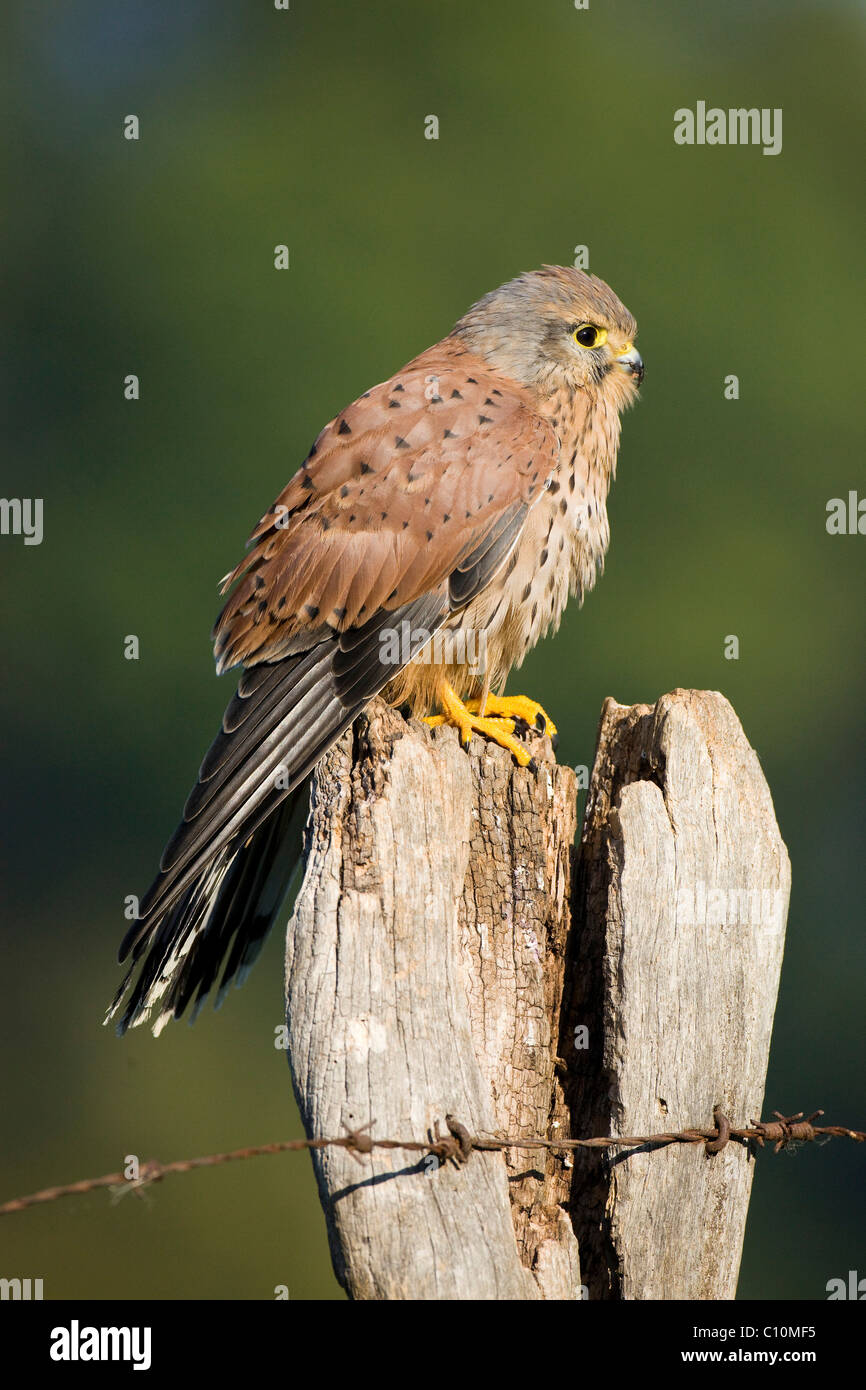 Kestrel (Falco tinnunculus), young male on a fence post, Vulcan Eifel, Rhineland-Palatinate, Germany, Europe - Stock Image