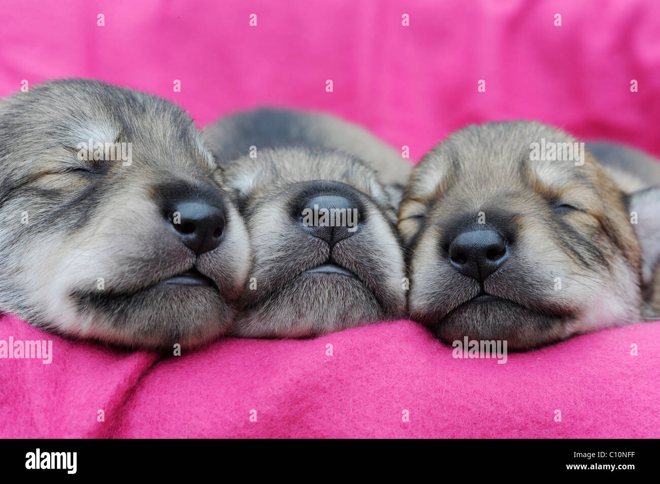 Three wolf-dog puppies, dogs' noses, sleeping - Stock Image