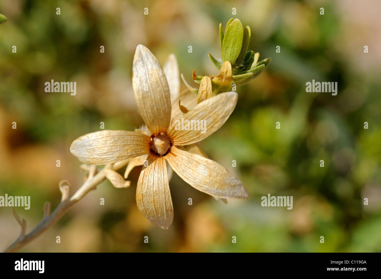 Wahlenbergia thunbergiana, Richtersveld National Park, South Africa - Stock Image