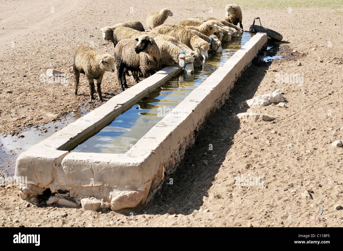 Sheep at a trough, Altiplano Bolivian highland, Oruro Department, Bolivia, South America - Stock Image