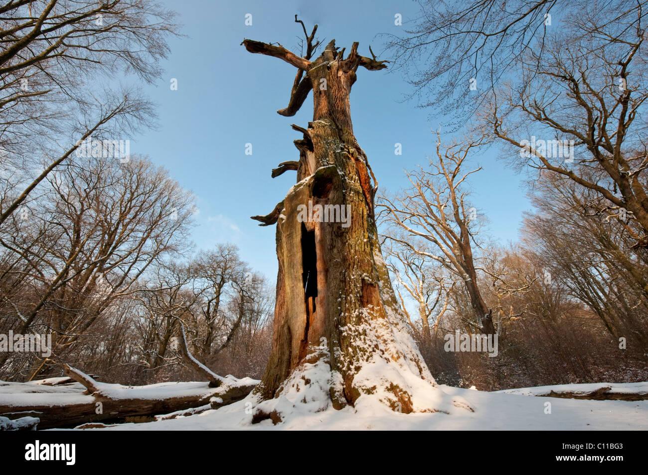 Oak in snow, Urwald Sababurg Nature Reserve, Hofgeismar, North Hesse, Germany, Europe - Stock Image
