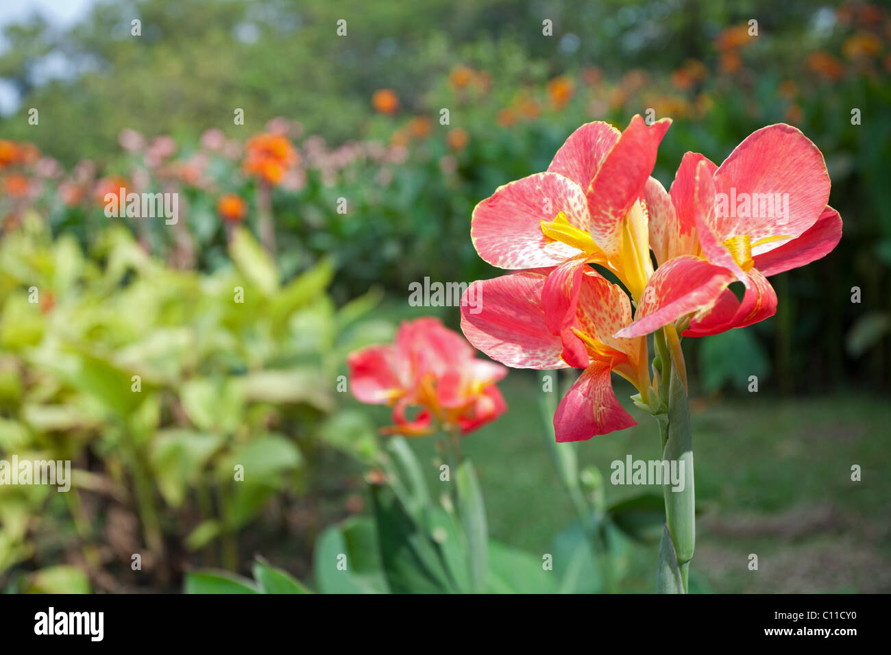 Pink Canna Lily Flowers Stock Photos Pink Canna Lily Flowers Stock