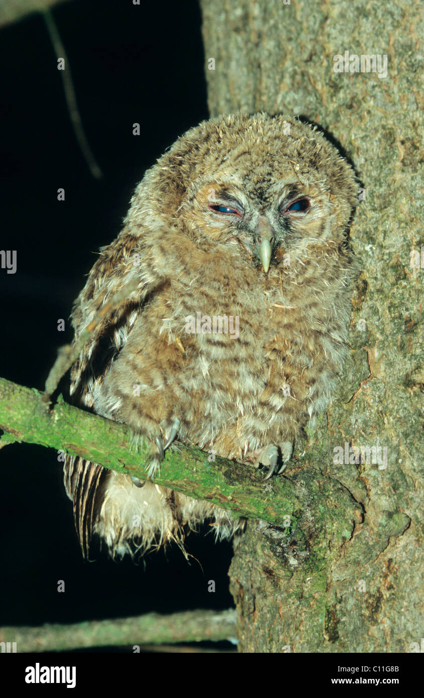 Tawny Owl (Strix aluco), young bird Stock Photo