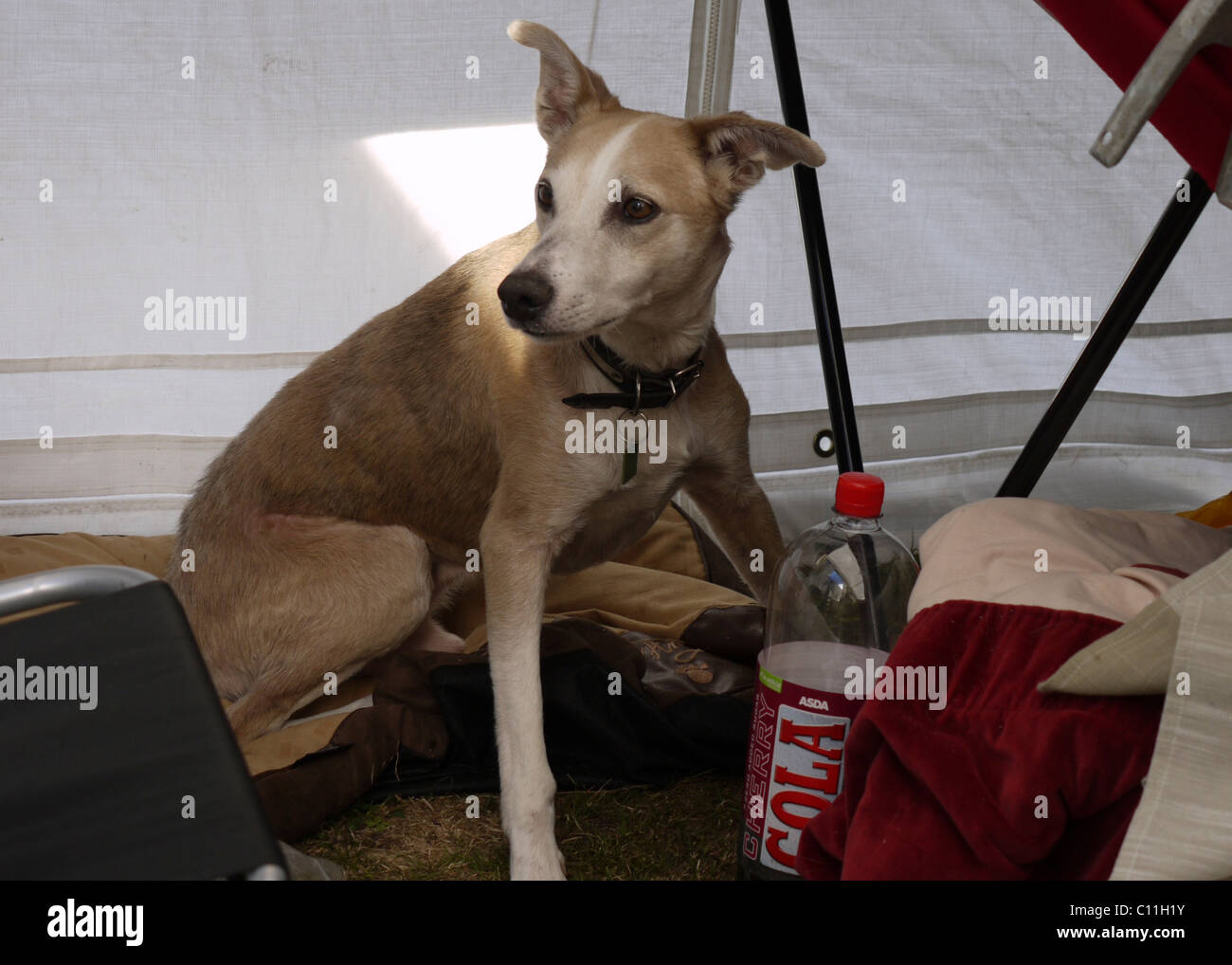 Whippet/Collie Lurcher Paddy - Stock Image
