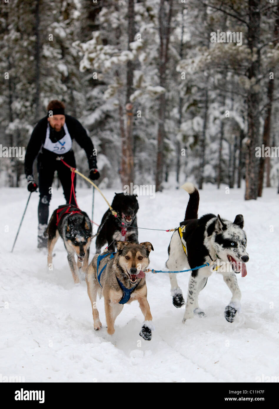 Husky Sled Dogs Video