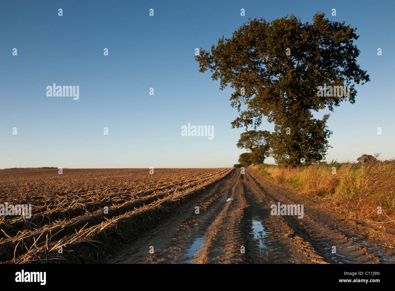 A country track beside a potato field ready to be harvested, with oak trees. - Stock Image