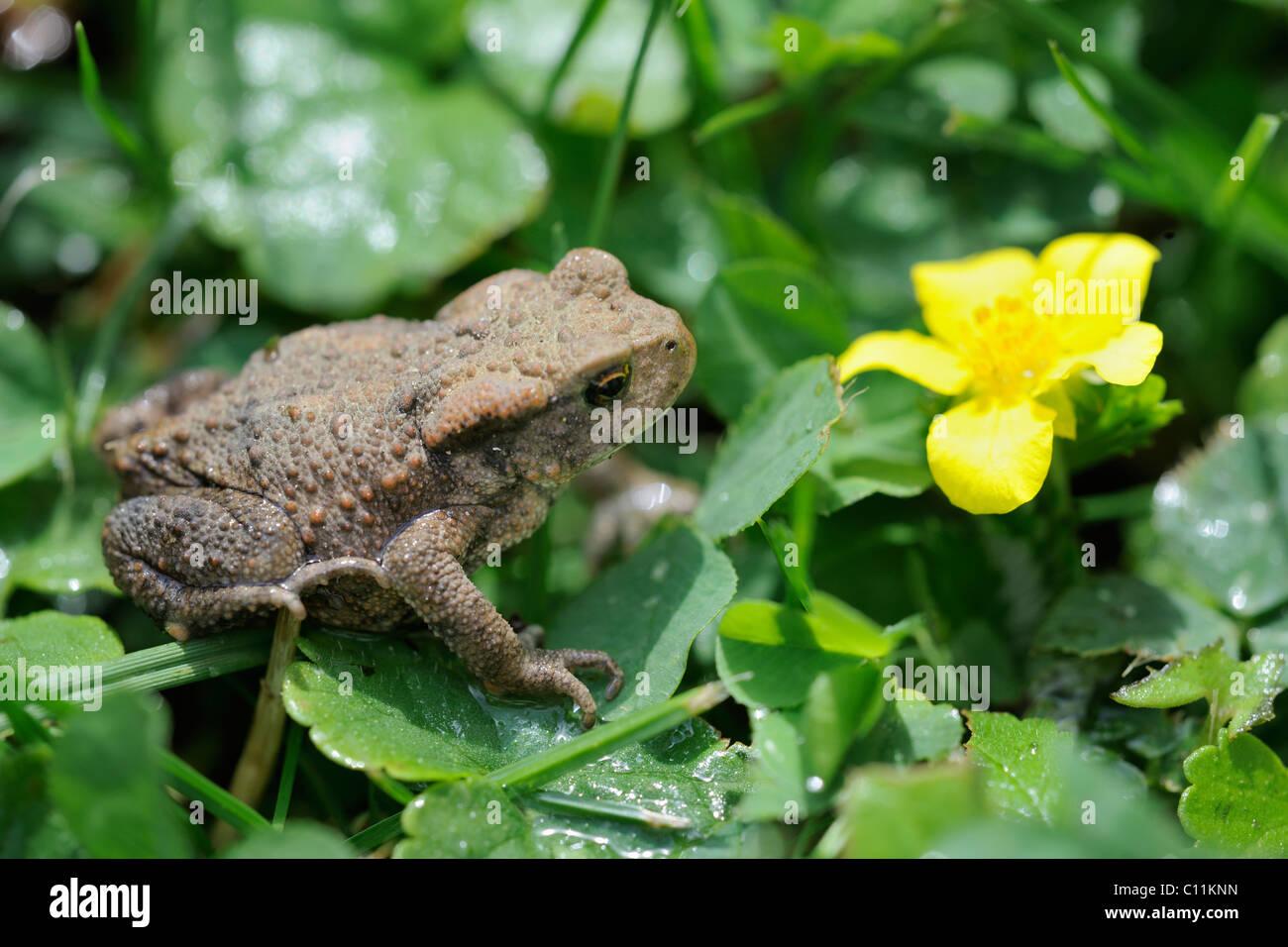 Young Common Toad (Bufo bufo), Waldviertel region, Lower Austria, Austria, Europe Stock Photo