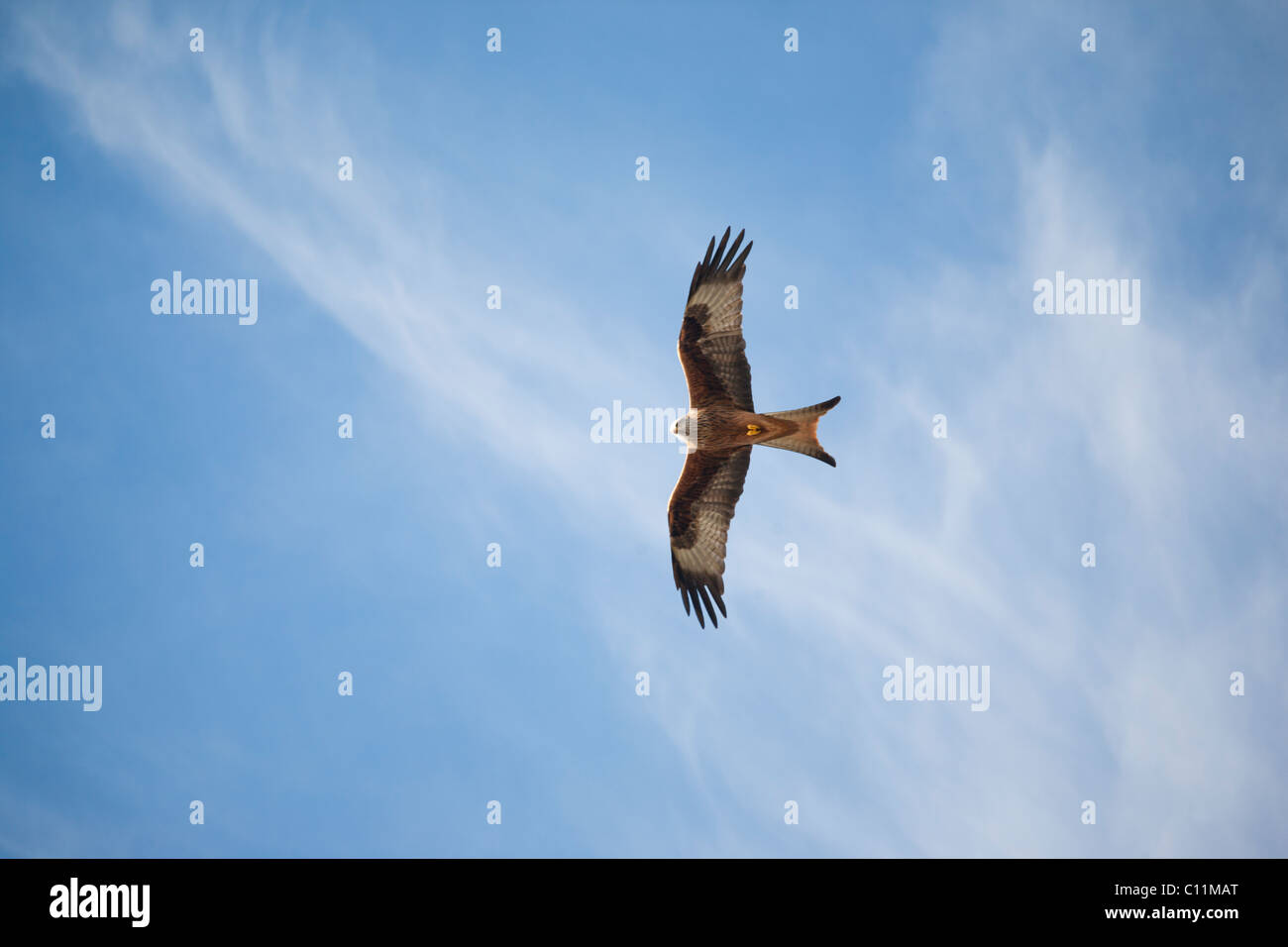 Red Kite (Milvus milvus) - Stock Image