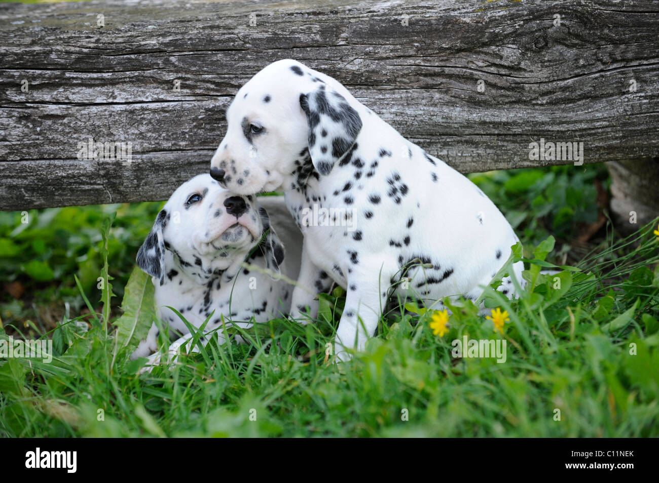 Two Dalmatian puppies - Stock Image