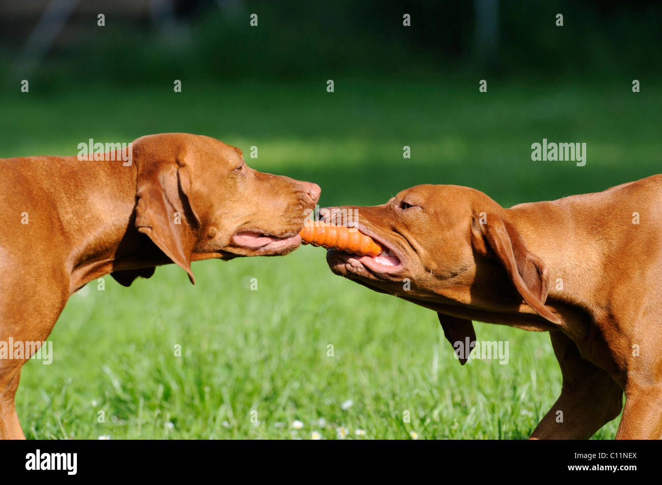 Two Magyar Viszla dogs pulling on a toy - Stock Image