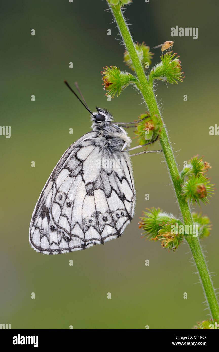 Marbled White (Melanargia galathea), Biosphaerengebiet Schwaebische Alb biosphere reserve, Swabian Alb, Baden-Wuerttemberg - Stock Image
