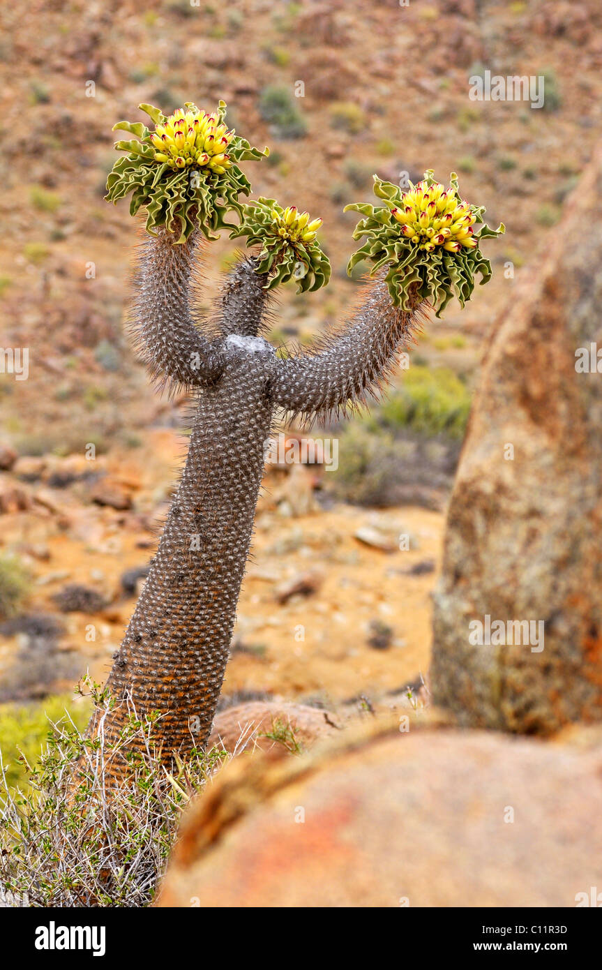 Three-branched Halfmens (Pachypodium namaquanum) with inflorescence, in its habitat, Richtersveld National Park, - Stock Image
