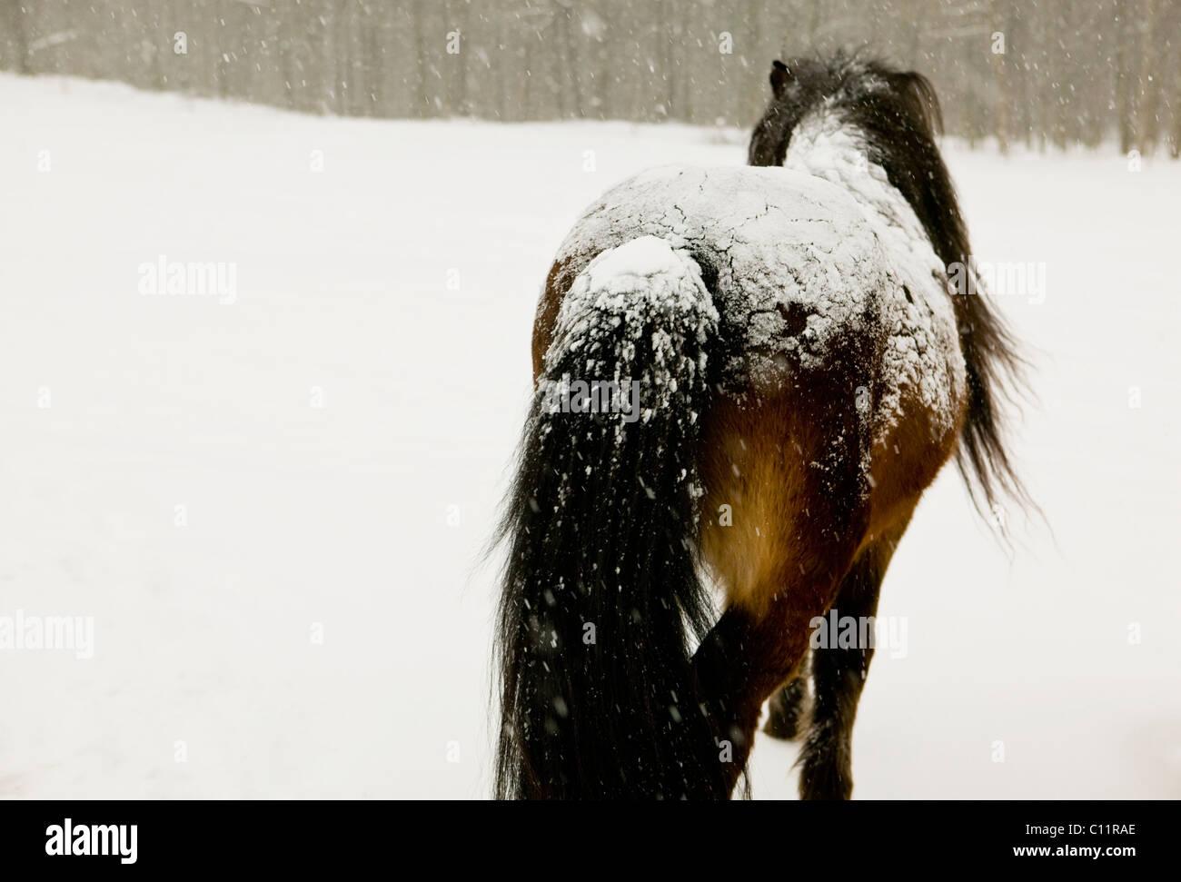 Icelandic Stallion in snow - Stock Image