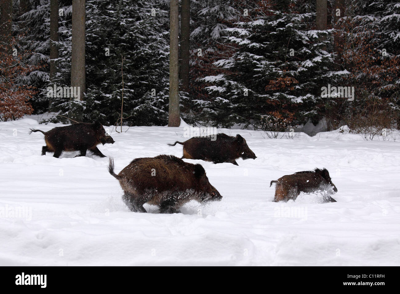 Wild Boars (Sus scrofa) fleeing into the woods in winter through the snow - Stock Image