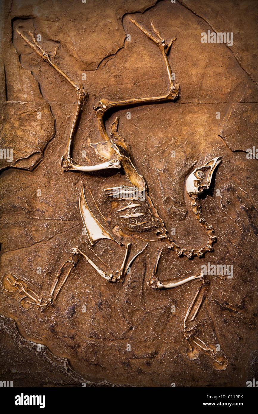 Dinosaur Fossil. - Stock Image