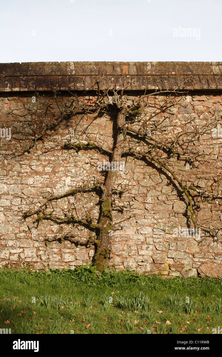 Fruit tree trained into espalier growing against wall at Knightshayes Garden NT Tiverton Devon UK - Stock Image