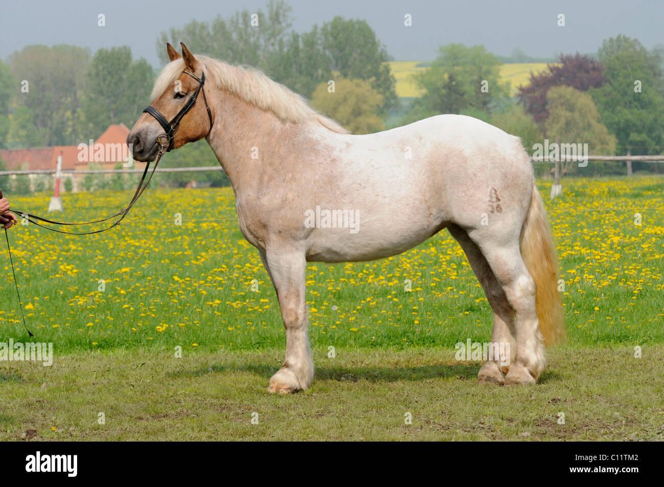 Saxon-Thuringian draft horse, mare, chestnut horse, standing - Stock Image