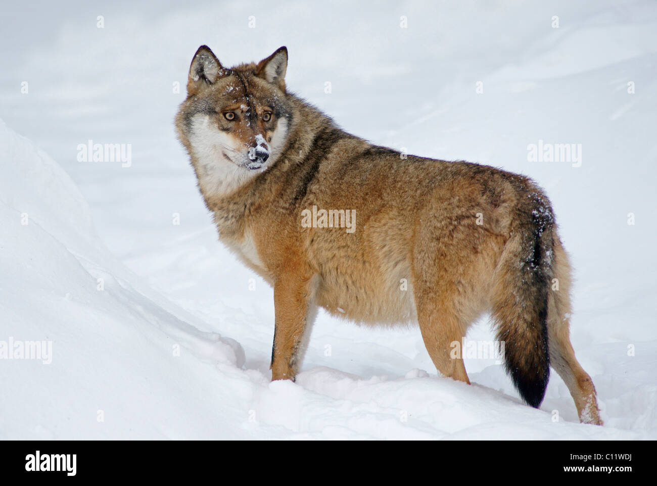 Wolf (Canis lupus) in snow - Stock Image
