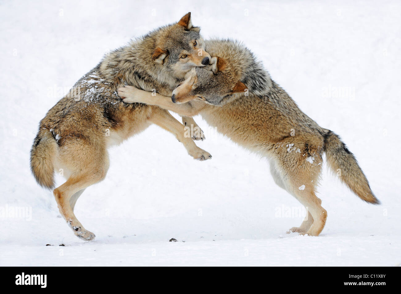 Fighting, playing wolves, cub, Mackenzie Wolf, Alaskan Tundra Wolf or Canadian Timber Wolf (Canis lupus occidentalis) Stock Photo