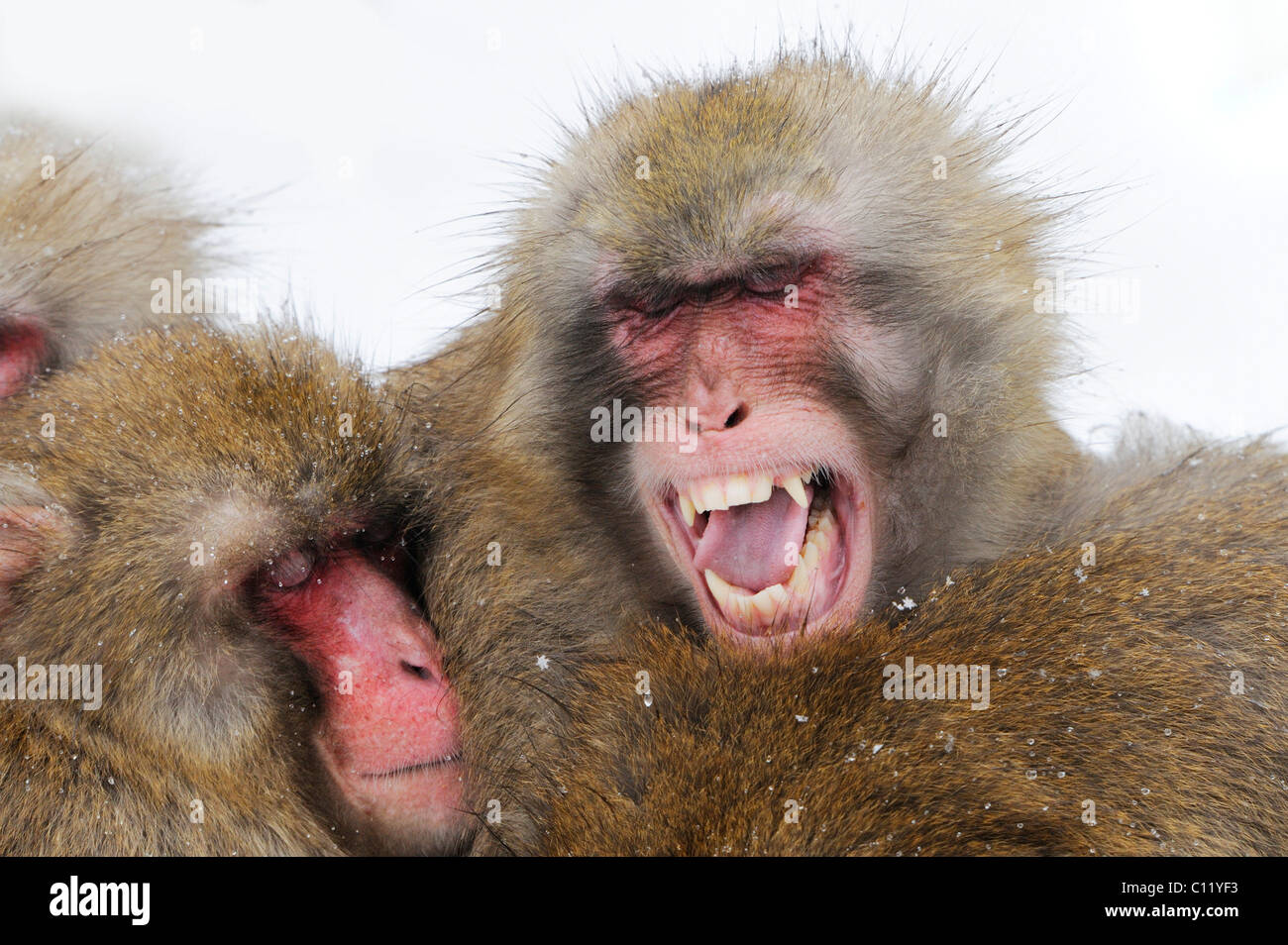 Japanese macaques (Macaca fuscata) - Stock Image