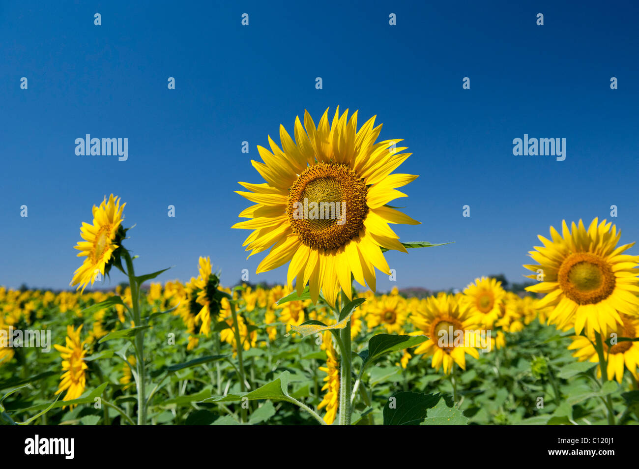 Cultivation of sunflowers in the Indian countryside, Andhra Pradesh, India - Stock Image