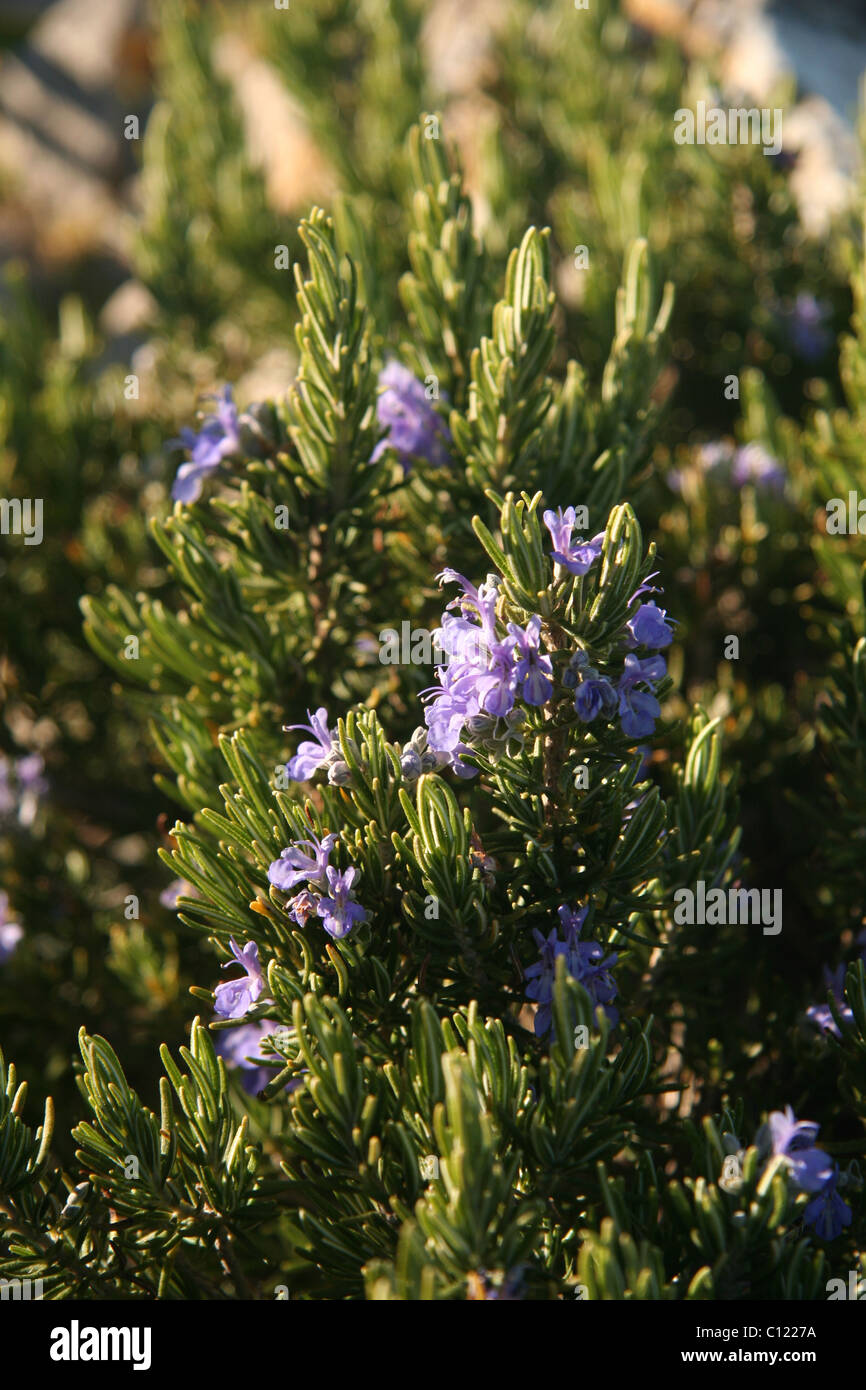 When the wild rosemary blooms: description, properties, features and reviews 98