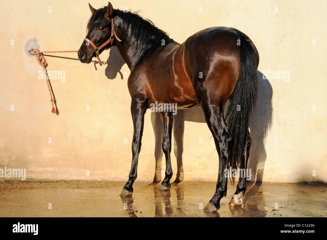 Horse, shiny coat, stables, horse riding, stud farm, Costa Blanca, Alicante province, Spain, Europe - Stock Image