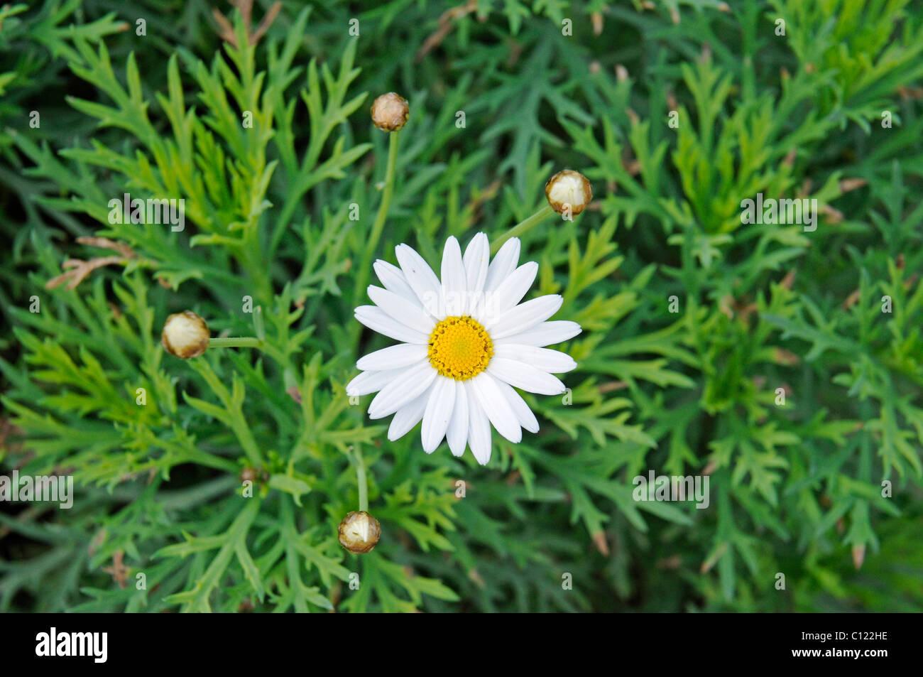 Single flower with buds stock photos single flower with buds stock marguerite or daisy single flower and buds spain europe stock image mightylinksfo