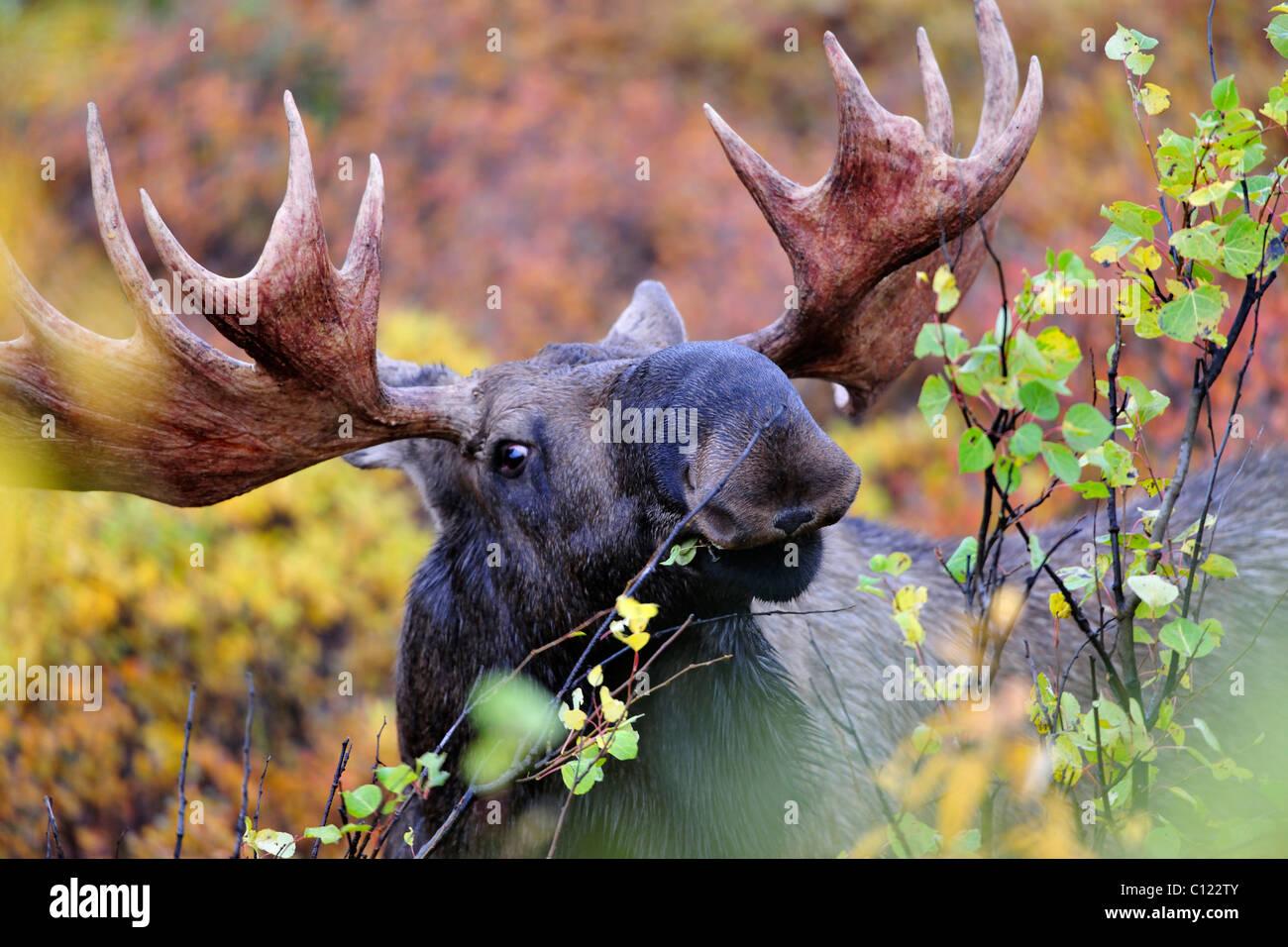 Deer Eating Leaves Stock Photos & Deer Eating Leaves Stock
