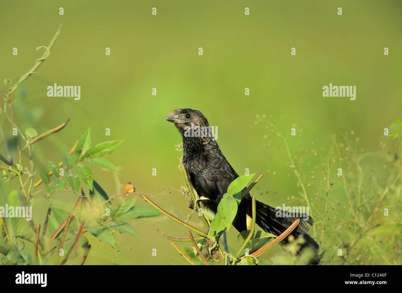Smooth-billed Ani (Crotophaga ani) - Stock Image