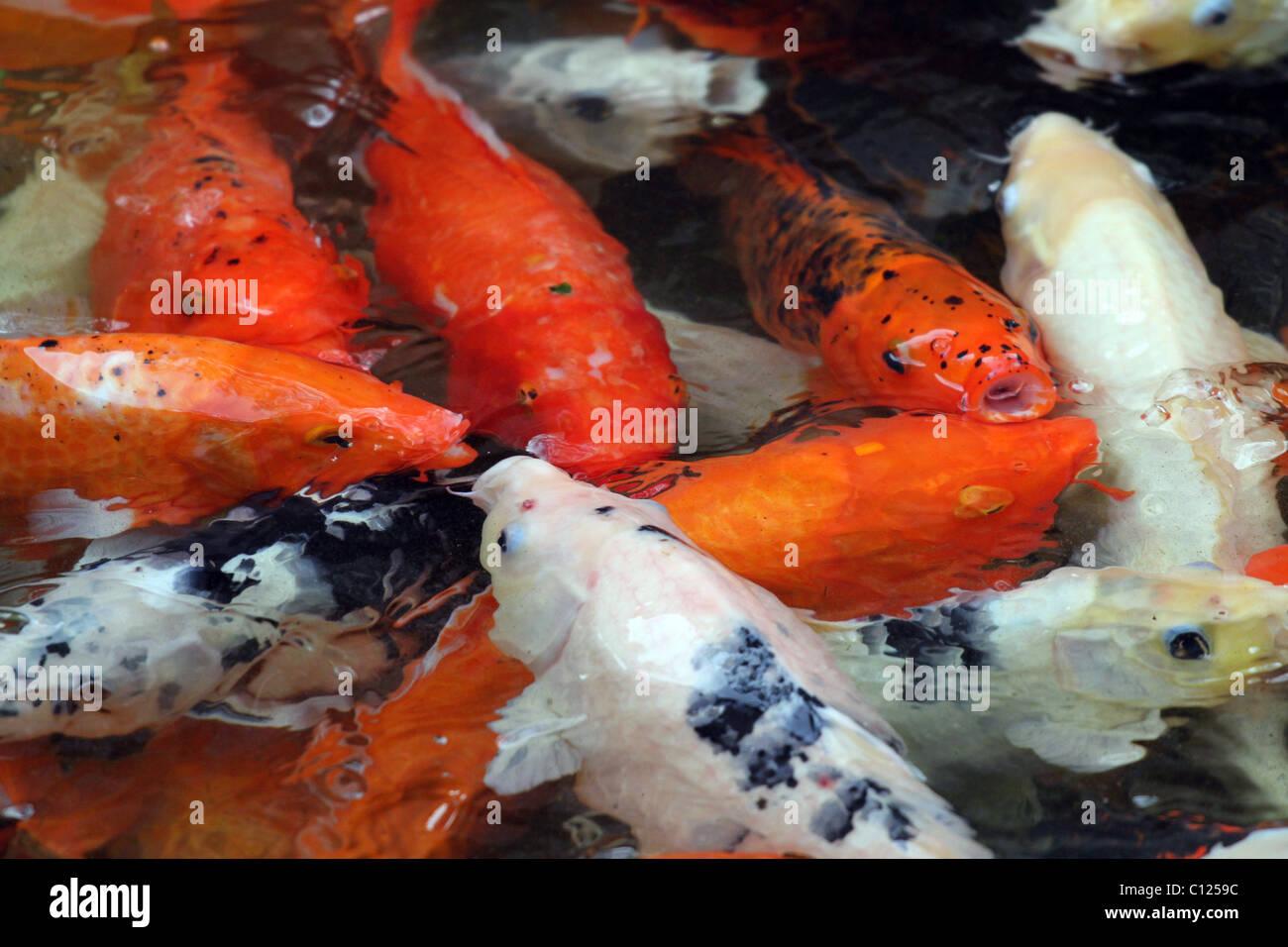Koi Carp and goldfish fish swimming in a pool in Macau, China Stock Photo