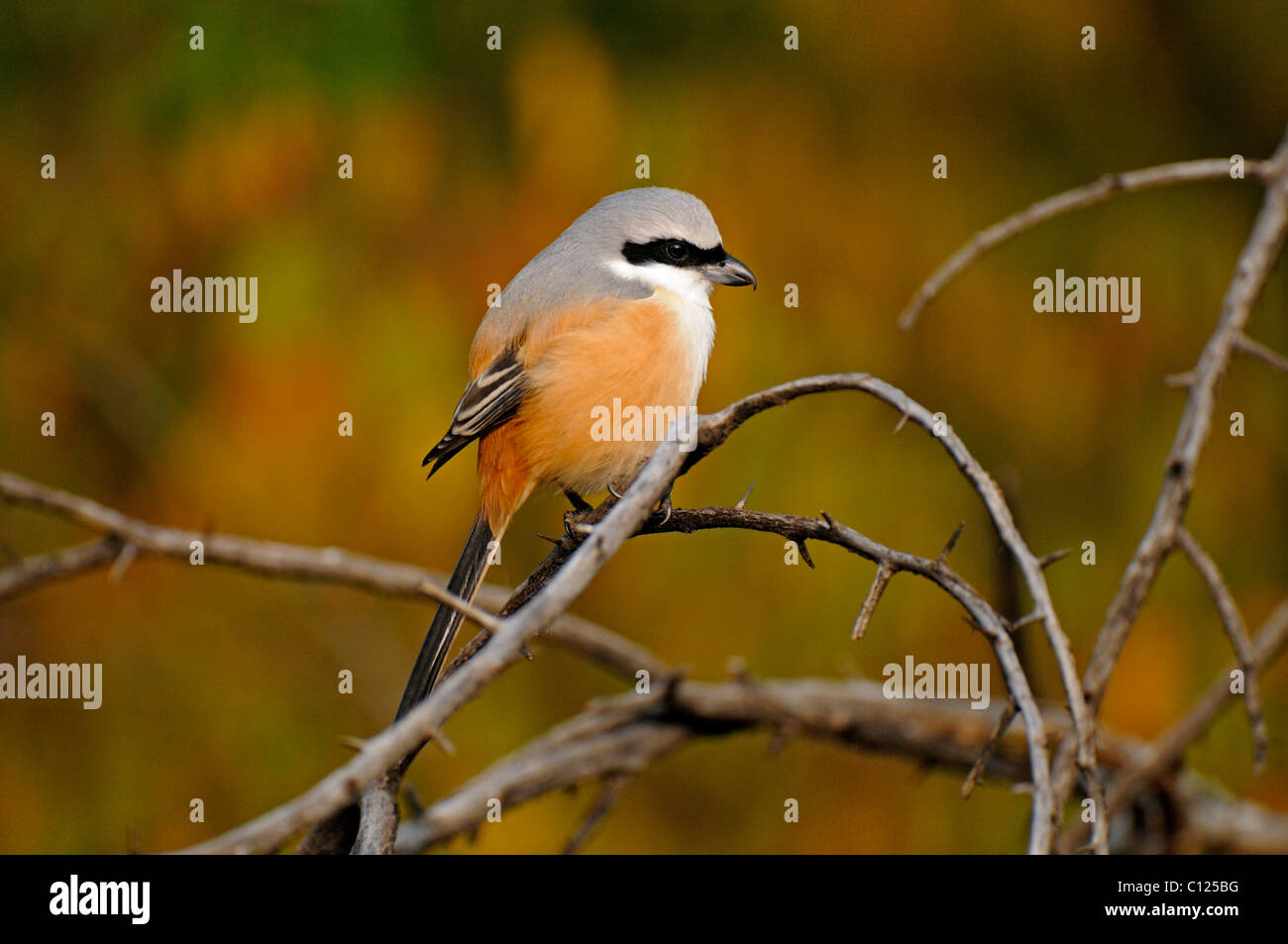 Long-tailed Shrike or Rufous-backed Shrike (Lanius schach) in the jungles of Ranthambore National Park, Rajasthan, - Stock Image