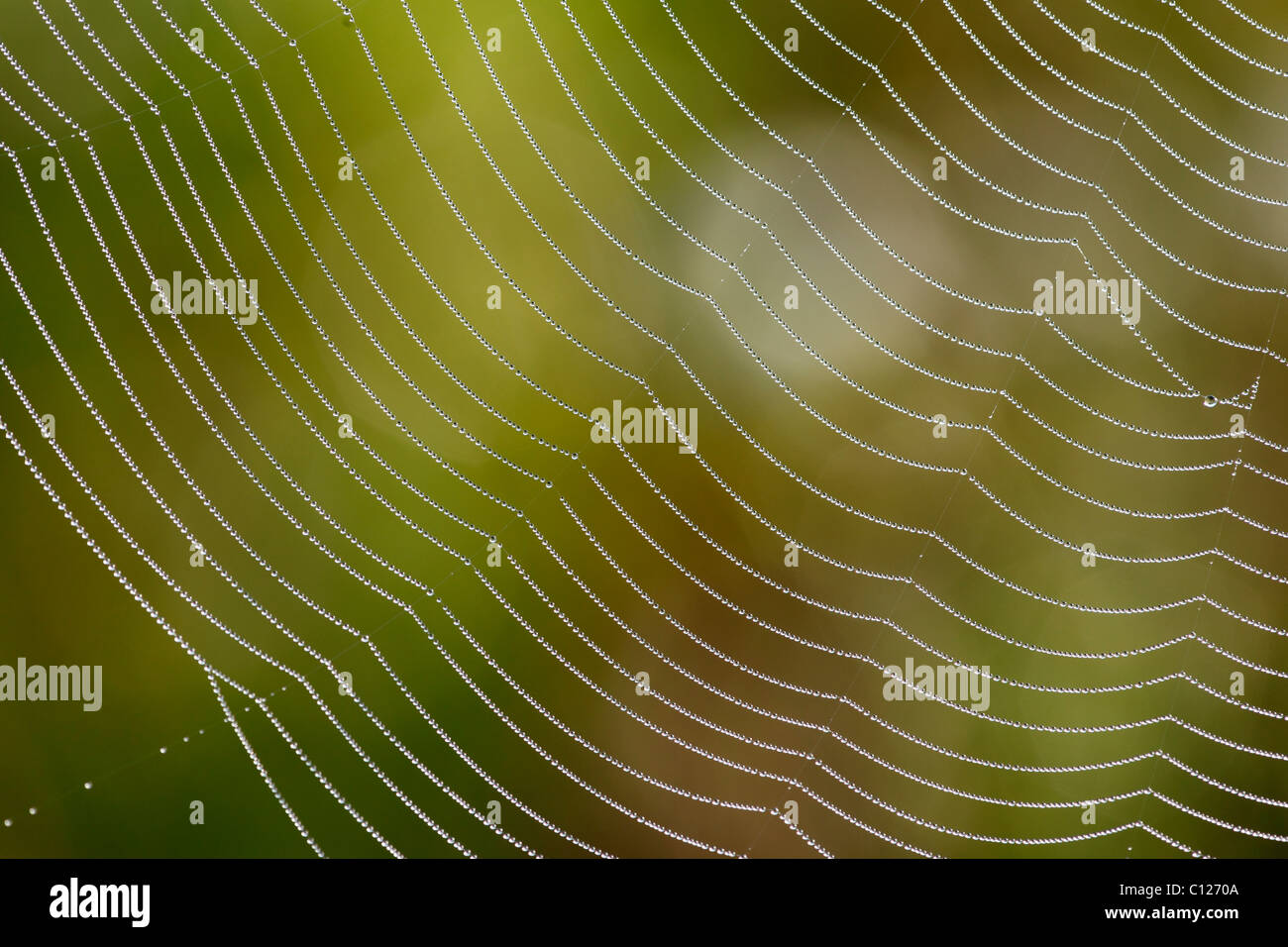 Spider web of an Araneid Spider with dew drops, Bavaria, Germany Stock Photo