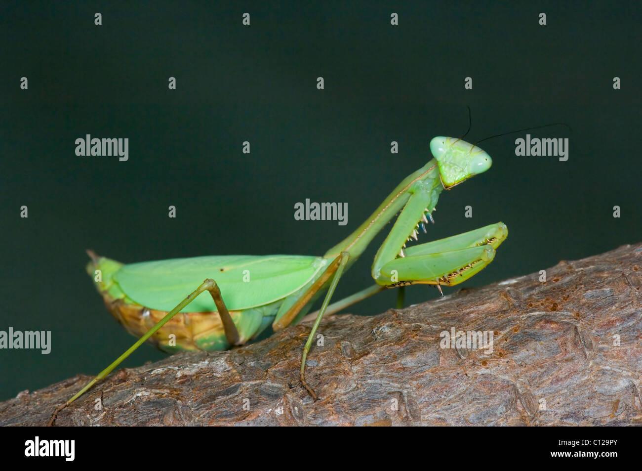 Pregnant Female Praying Mantis (Stagmomantis theophila Stock Photo