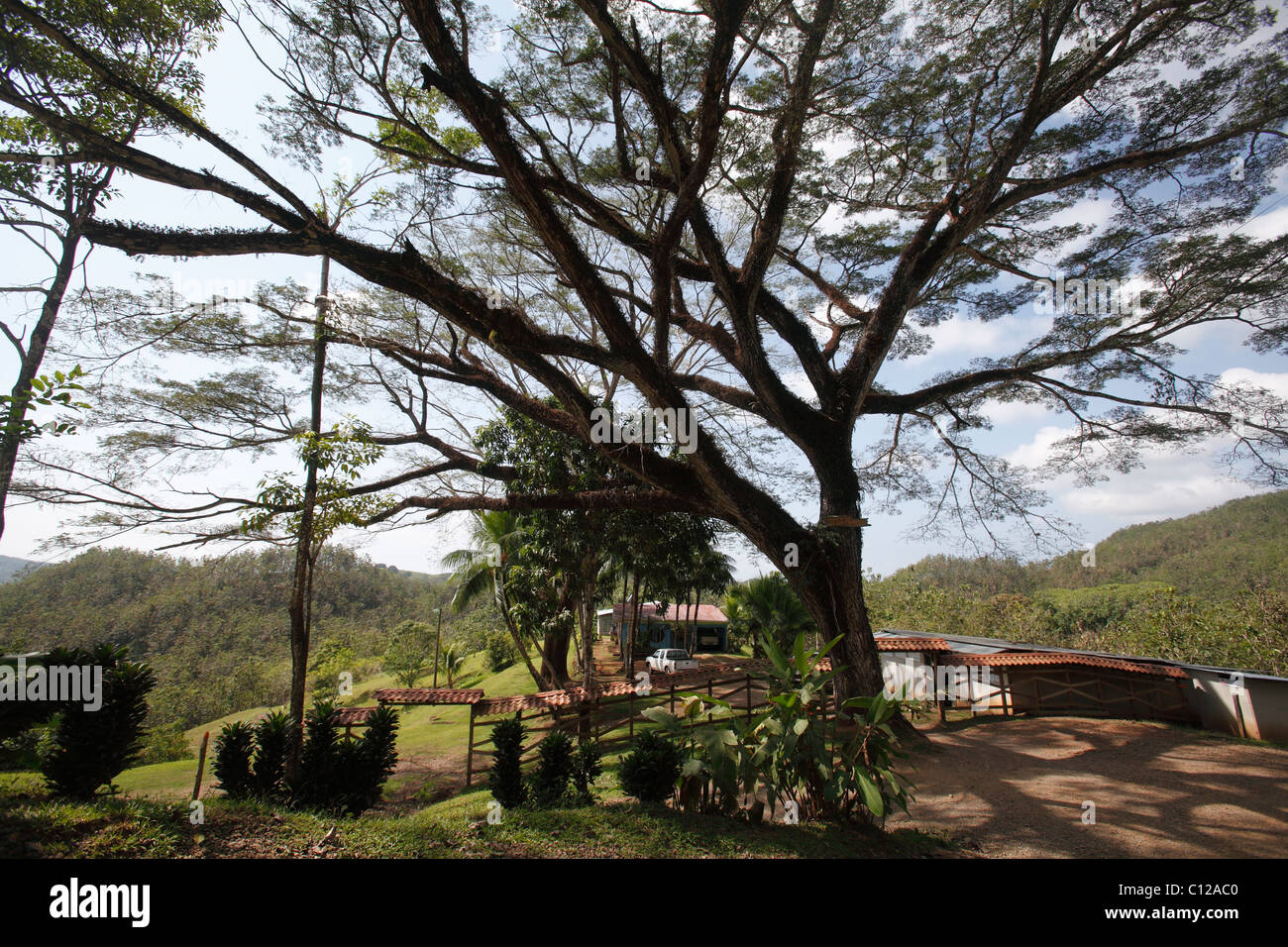 An old growth tree preserved in front of a ranch house in San Jose province, Costa Rica - Stock Image