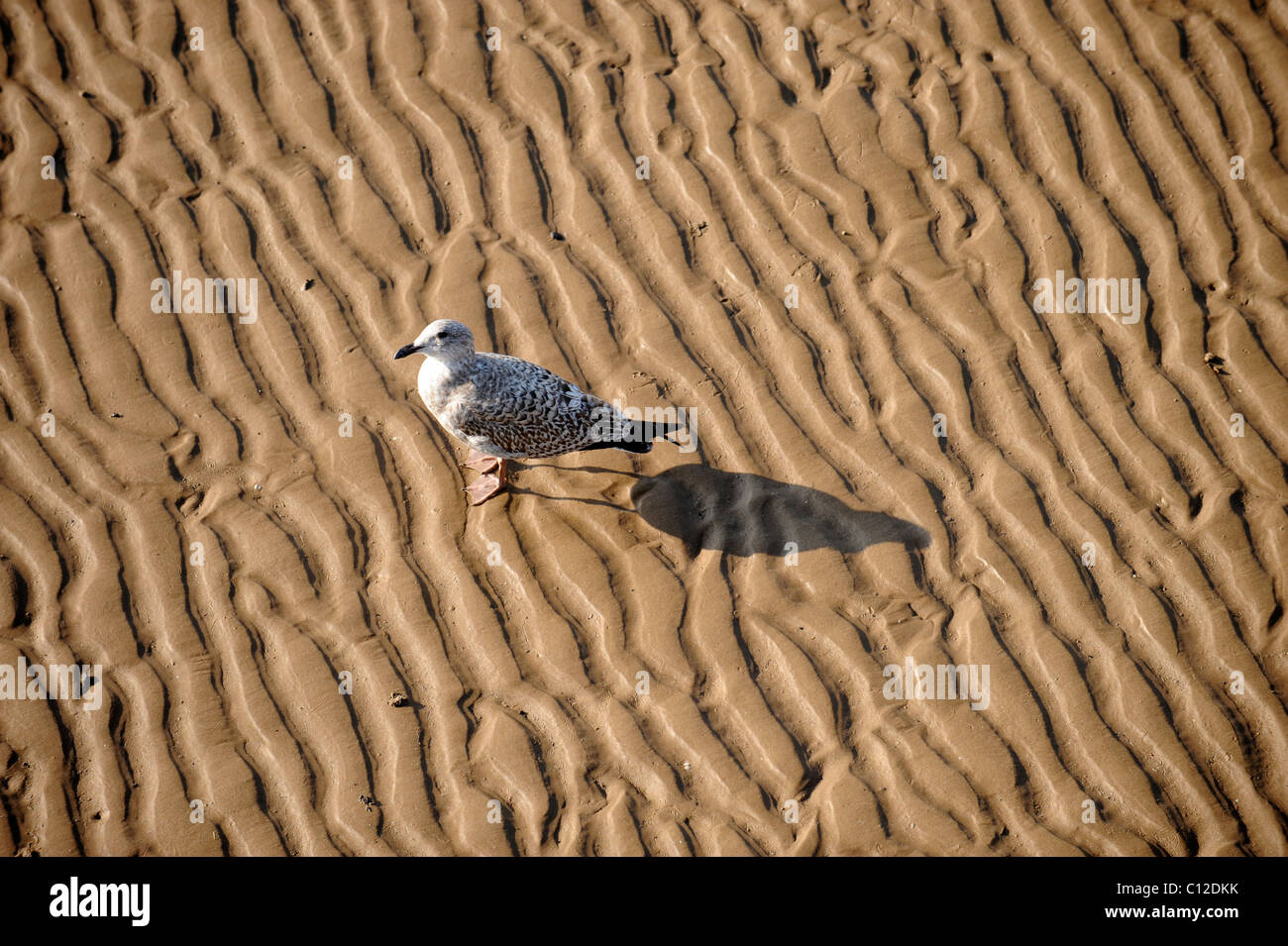 A Seagull on the beach at Weston-Super-Mare Somerset UK - Stock Image