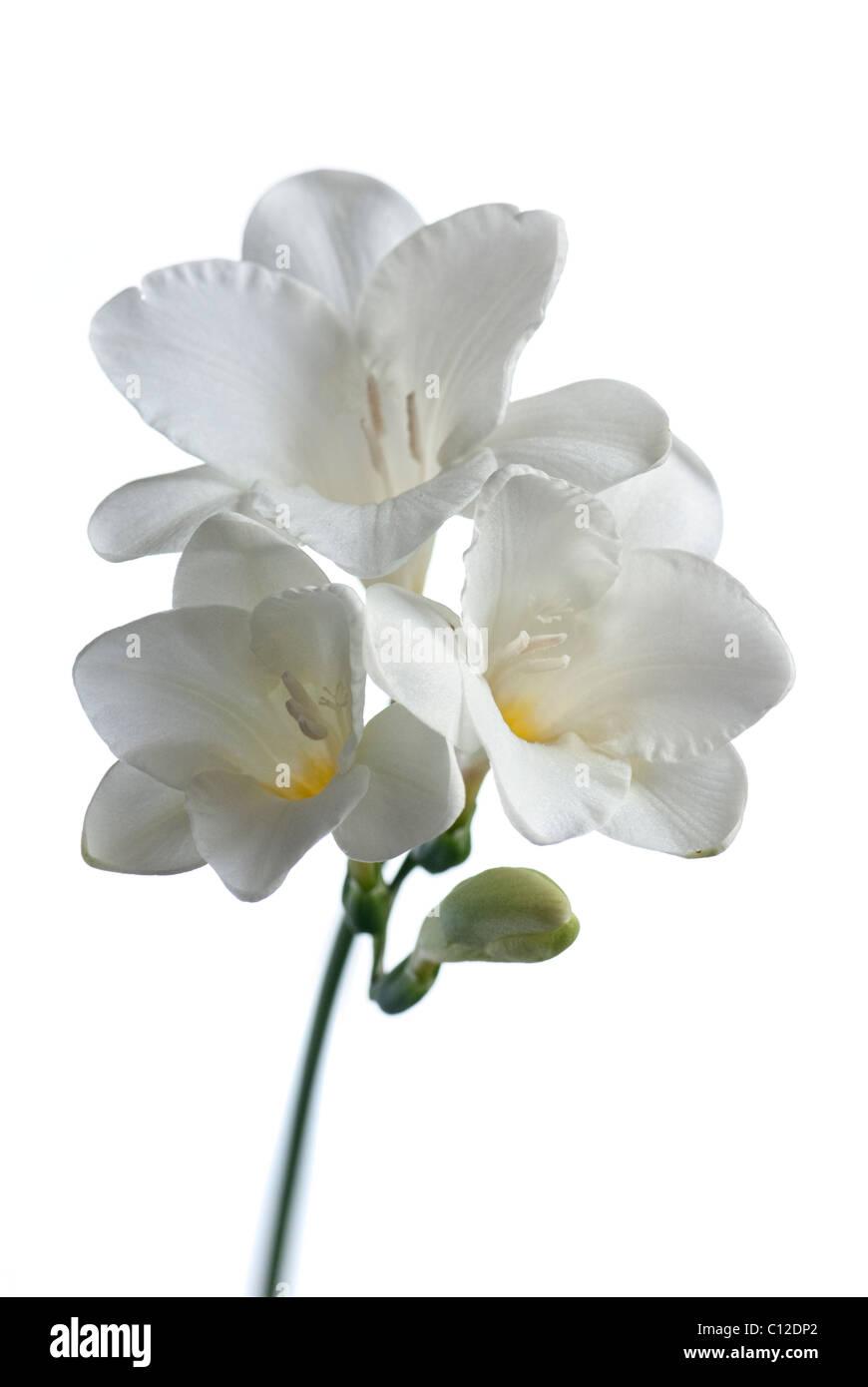 White Freesia Flowers Stock Photo 35090106 Alamy