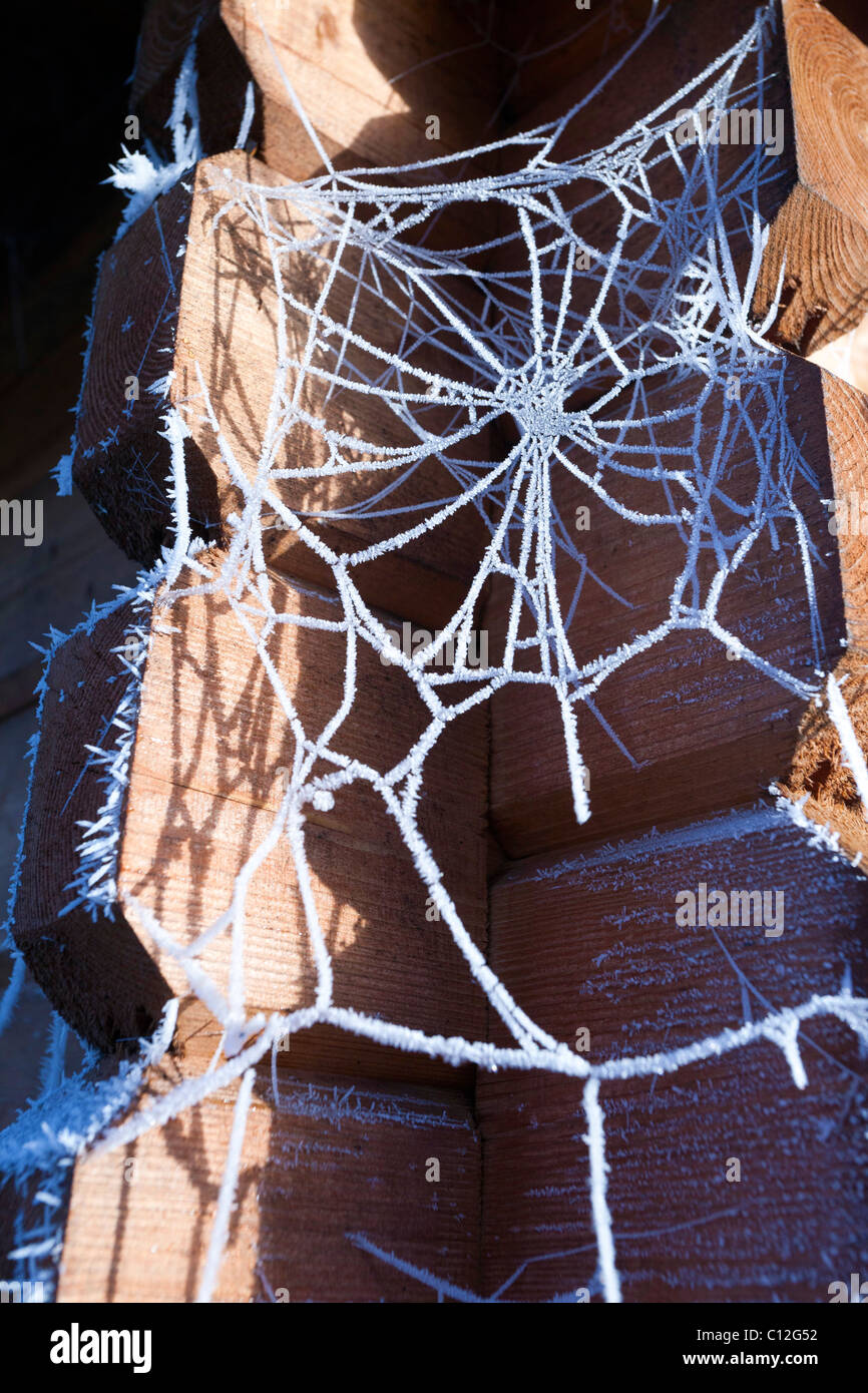frosted spider web in UK - Stock Image