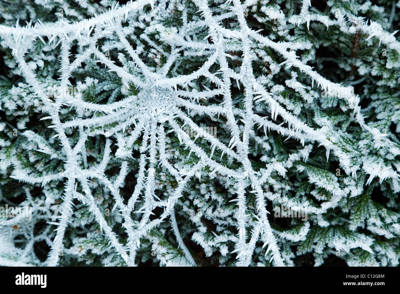 frosted cobweb in winter - Stock Image