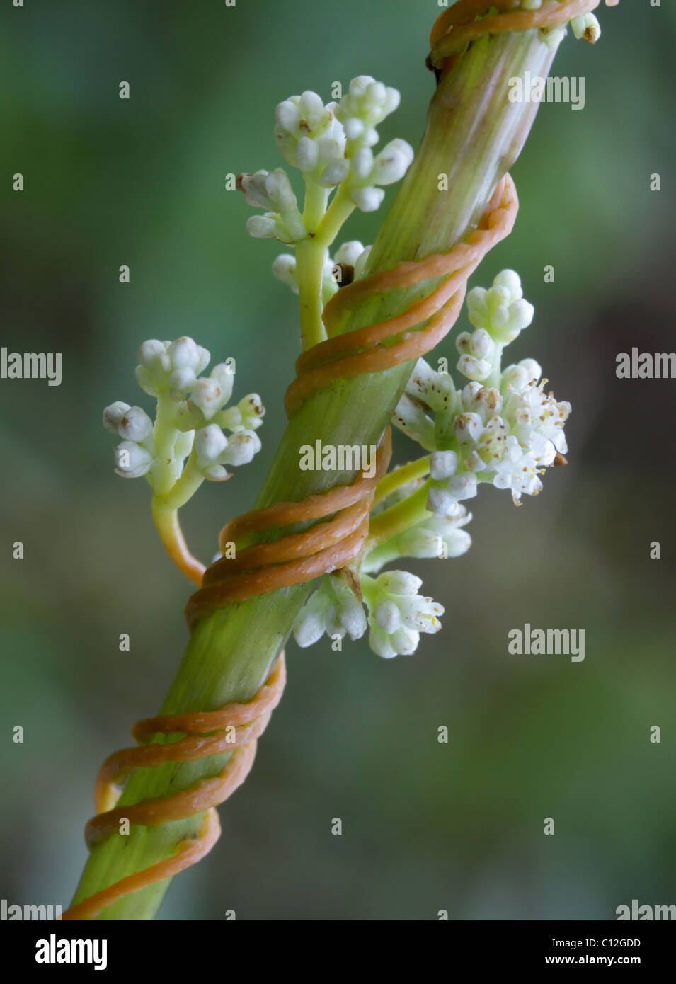Dodder (Cuscuta sp.) in bloom, parasitizing jewelweed. - Stock Image