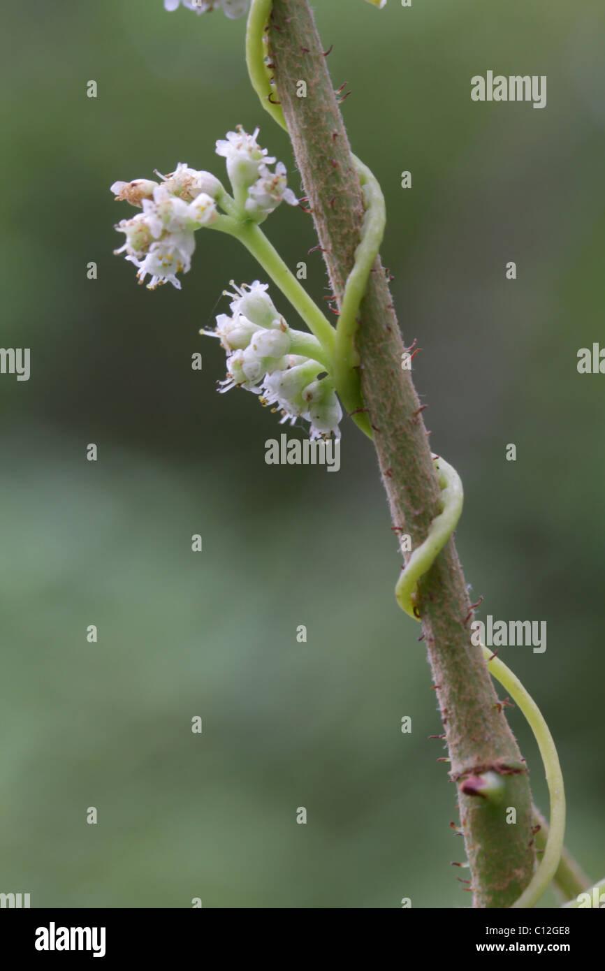Dodder (Cuscuta sp.) in bloom. - Stock Image